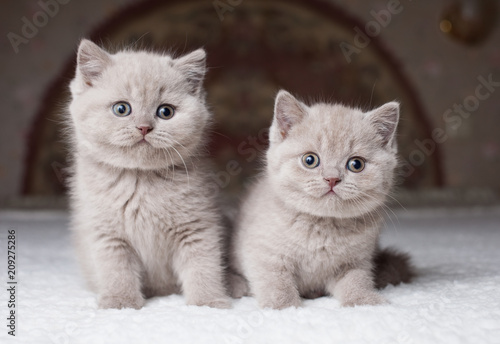 Lilac British shorthair cat, male, outdoor