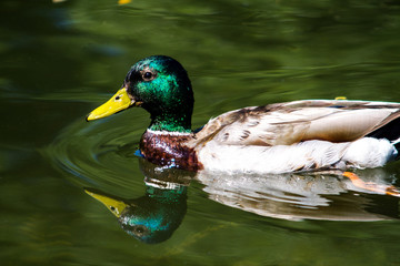 Brown, gray, green duck swims on the waves of the lake.