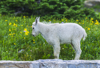 Two mountain goats mother and kid in green grass field, Glacier National Park, Montana