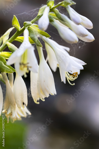 A Close Up Of A Row Of White Bell Shaped Flowers Stock Photo And