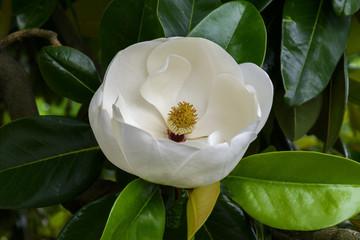 Perfect Magnolia Blossom