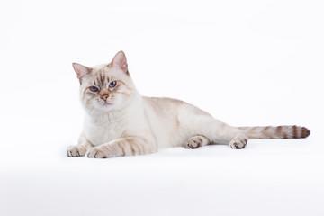 Thai cat lay on white background