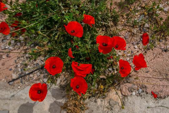 Summer wildflowers, chamomile