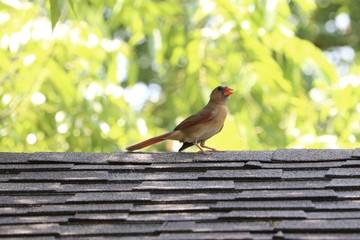 Female cardinal bird on roof