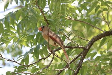 Female cardinal bird singing in tree
