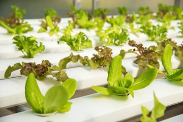 Organic hydroponic vegetable cultivation farm,Red oak, green oak,  cultivation hydroponic green vegetable