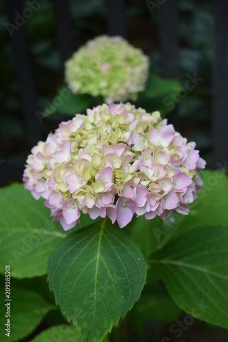 Różowa Hortensja Ogrodowa Stock Photo And Royalty Free Images On