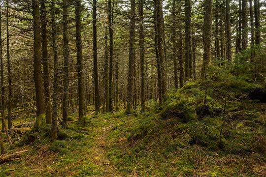 Appalachian Trail in the Spruce-fir Forest in Virginia.