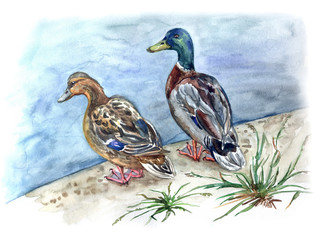 A pair of ducks mallards on the shore of a pond, watercolor drawing