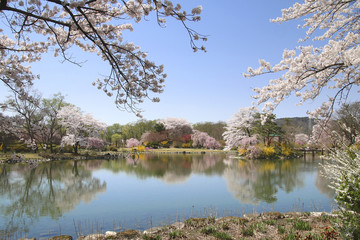 緑水苑の桜(福島県・郡山市)