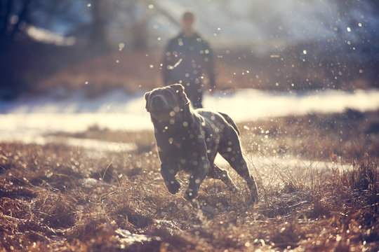 Labrador Retriever dog chasing ball with man in background