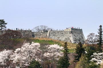 霞ヶ城公園の桜(福島県・二本松市)