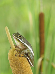 Closeup of a Squirrel Treefrog on a Cattail at the Edge of a Marsh