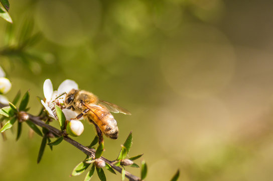 Honey bee on manuka flower from which manuka honey with medicinal benefits are made with space on the right