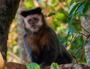 macaco sapajus prego biodiversidade reserva agricola