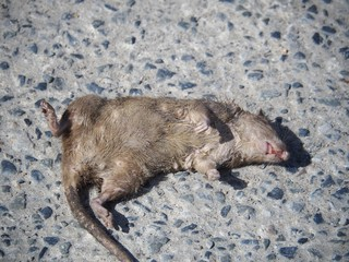 Dead rats on the street floor It smells bad And nasty Which brings germs and diseases to people.