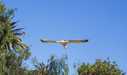Flying seagull in tropical spring