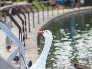 White goose photo.
