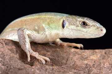 Corfu green lizard (Lacerta trilineata major)