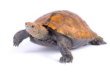 Japanese pond turtle (Mauremys japonica