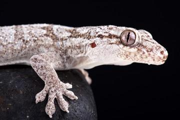 Giant Madagascan velvet gecko (Blaesodactylus sakalava)