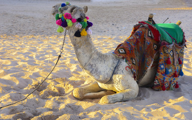 Bedouin camel, tied with a long rope lies on a sandy beach near the sea against a background of yellow sand. where no one surrounds. The concept of oriental oriental culture. Summer, vacation, travel
