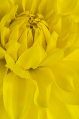 dahlia flower background
