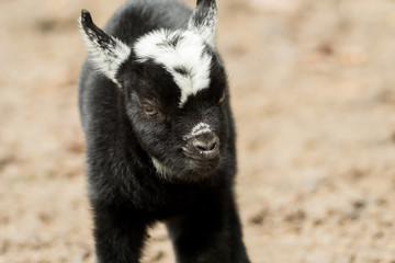 A young black and white goat stands outside
