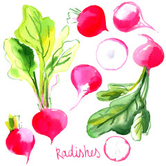 Set radishes, vegetables painted with watercolors on white backg