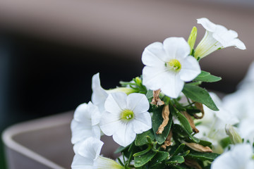 Leptokarya, Greece - June 09, 2018: Beautiful white flowers plants Petunia