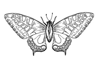 Drawing of yellow butterfly - hand sketch of old world swallowtail, black and white illustration