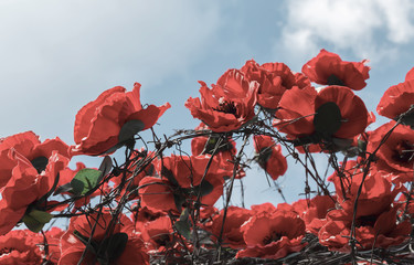 red poppies among barbed wire as a symbol of war victims.