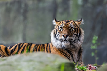 Wall Mural - Male sumatran tiger in front of a rocky background