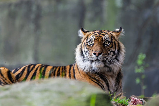 Male sumatran tiger in front of a rocky background