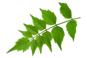 Tecoma leaf closeup on white