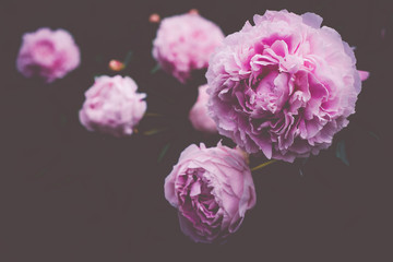 Peonies With Copy Space