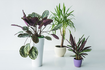 calathea plants and palm in pots isolated on grey background