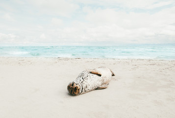 Seal animal relaxing on sandy beach sunbathing in Denmark climate change ecology protection concept arctic sealife.