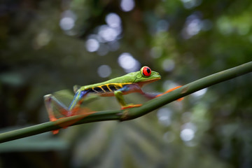 Agalychnis callidryas,tropical Red-eyed tree frog, non-toxic,colorful arboreal frog with red eyes and toes,walking on diagonal twig against distant rainforest. Motion blurr technique. Costa Rica