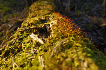 Green moss on a log. Closeup View. Nature Background.