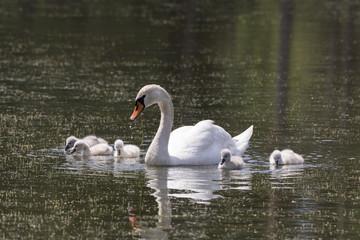 Schwanenfamilie