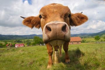 Funny face bull