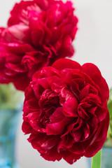 Red peonies, variety Henry Bockstoce