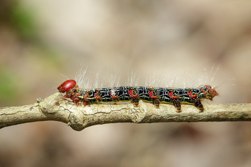 Image of a red-black caterpillar bug on brown branch. Insect. Animal.