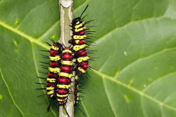 Image of a Caterpillar leopard lacewing(Cethosis cyane euanthes) on a branch. Insect. Animal