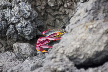 Bright coloured crab in the rocks