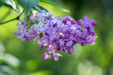 Keuken foto achterwand Lilac Syringa vulgaris flowering plant in the olive family oleaceae, deciduous shrub with group of light violet purple flowers
