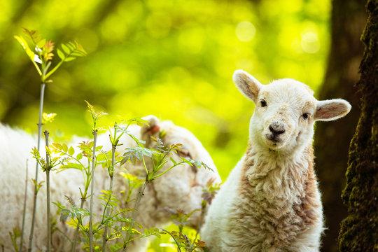 Spring Lamb standing on farmland, looking at the camera