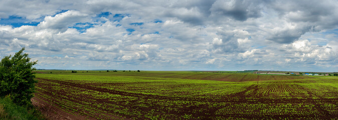Wall Mural - Panoramic view on beet, sugar field with sky