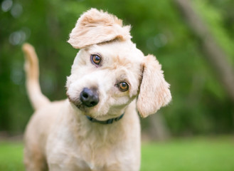 A cute Labrador Retriever/Poodle mixed breed puppy listening with a head tilt Wall mural